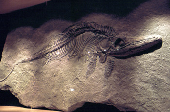 Stenopterygius (Ichthyosauria), Museo del Jurásico de Asturias,
