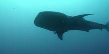 Tiburón ballena (Rhincodon typus. Smith, 1828)