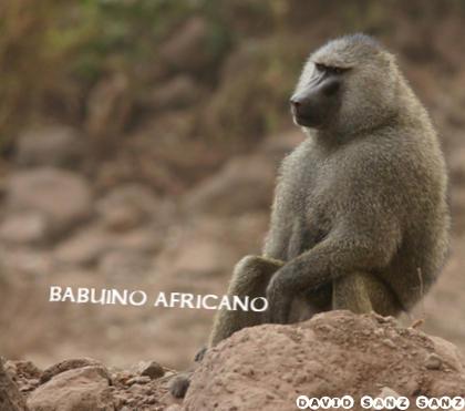 Babuino africano
