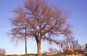 Falsa acacia de Japón - Porte (Sophora japonica)