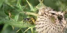 Gorgojo de los cardos (Dorytomus sp.)