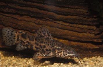 Loricarido (Hoplosternum toracathum)