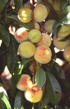 Melocotonero (Prunus persica)
