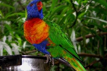 Loro, Australia
