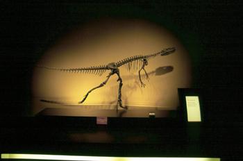 Herrerasaurus (Dinosauria, Theropoda), Museo del Jurásico de Ast