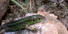 Lagarto verde - Hembra jóven (Lacerta bilineata)