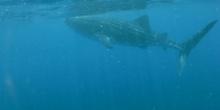 Tiburón ballena Rhincodon typus Smith, 1828