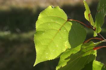 álamo negro - Hojas (Populus nigra)