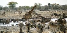 Reunión de animales en charca de agua, Namibia