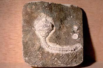 Abatocrinus subaequalis (Crinoideo) Carbonífero