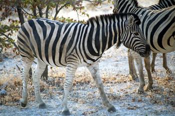 Primer plano de cebra, Namibia