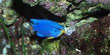 Damisela azul (Chromis sp.)