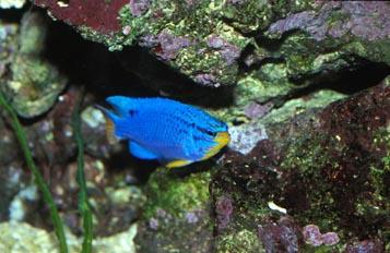 Damisela azul (Chromis sp.)