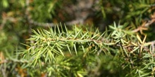 Enebro común - Hoja (Juniperus communis)