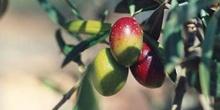 Olivo - Fruto (Olea europaea)