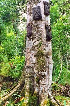 Tumba en árbol para recién nacidos, Sulawesi, Indonesia