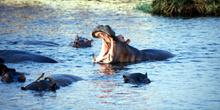 Amenaza de hipopótamo, Botswana