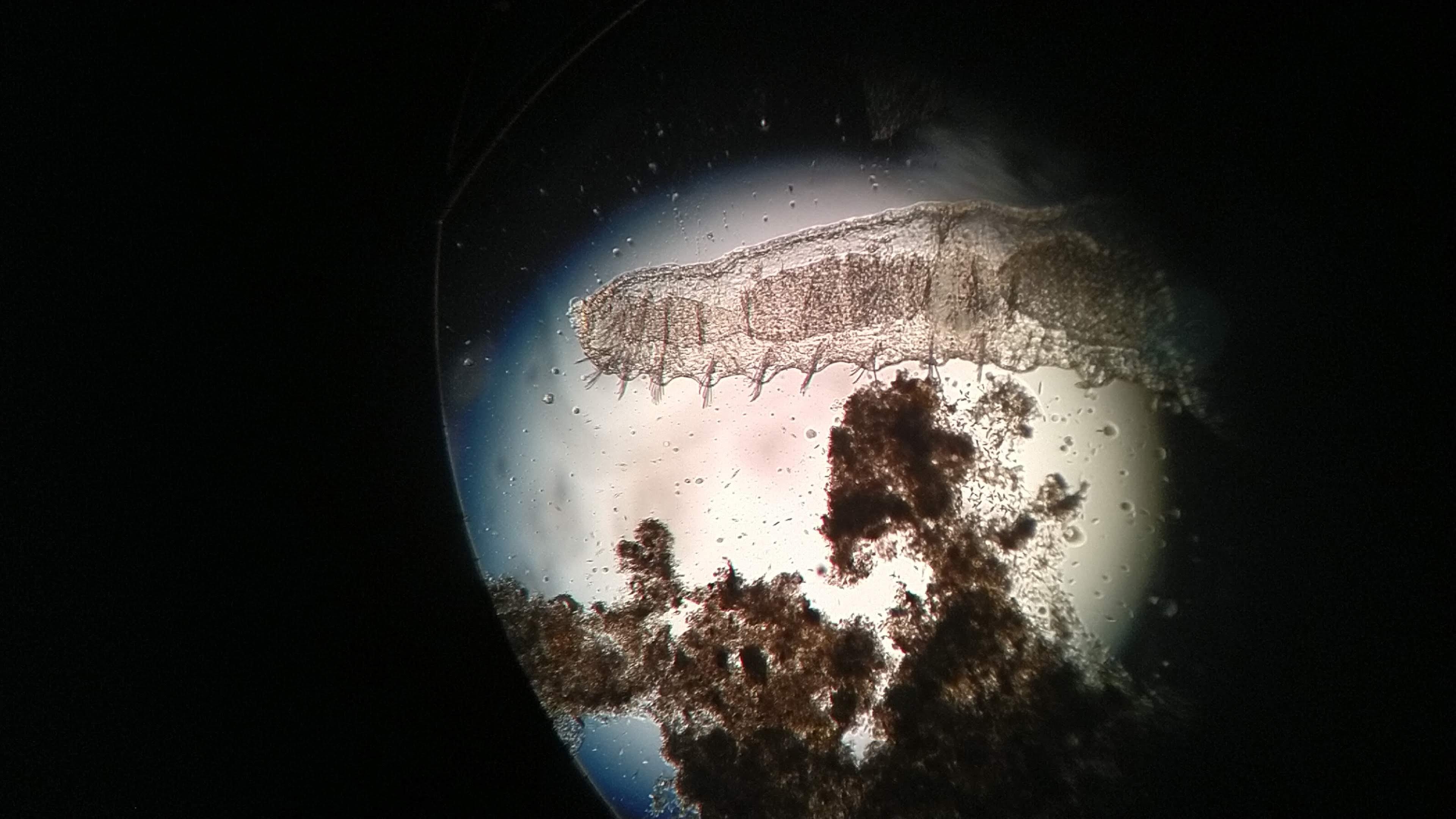 Oligoqueto chaetogaster Cerva-L-01-03