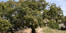 Alcornoque - Porte (Quercus suber)