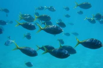 Peces tropicales en la Barrera del Coral, Australia