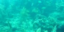 Coral de columnas (Dendrogyra cylindrus)