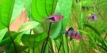 Arlequin (Rasbora heteromorpha)