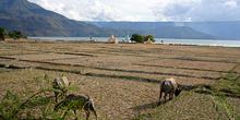 Arrozales secos, Lago Toba, Sumatra, Indonesia
