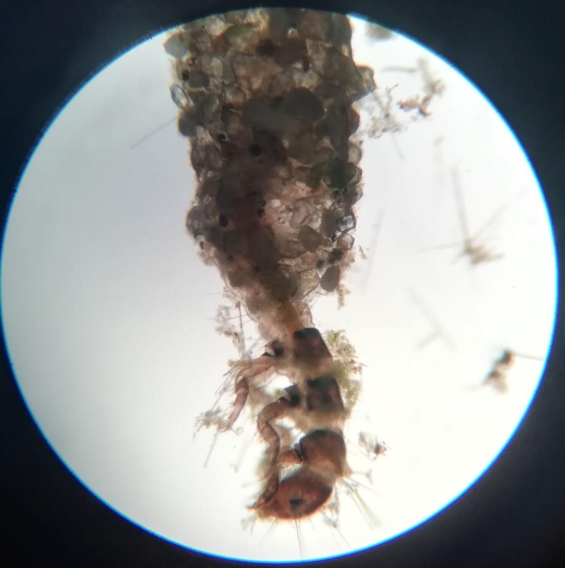 TRICOPTERO (Hydroptila)-AntLG-L-03-03.SGM