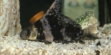 Botia de velo (Myxociprinus asiaticus)