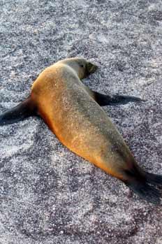 Hembra de lobo marino descansando, Zalophus Californianus, Ecuad