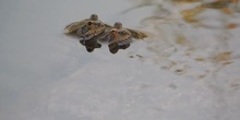 Rana común Pelophylax perezi Seoane, 1885