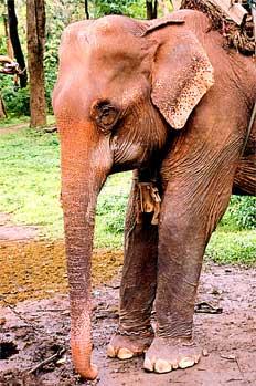 Elefante asiático: plano cabeza y orejas características, Tailan