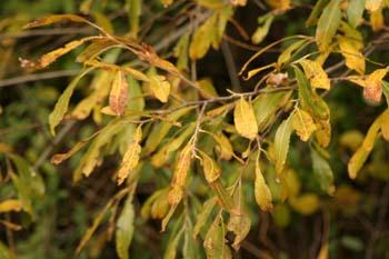 Sauce blanco - Hojas (Salix alba)