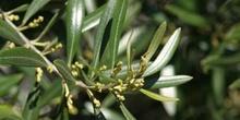 Olivo - Flor (Olea europaea)