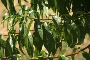 Melocotonero - Hojas (Prunus persica)