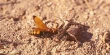 Avispa cazadora de arañas (Crytocheilus comparatus)