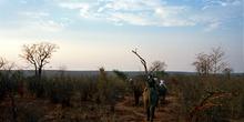 Ruta en elefantes por la sabana, Zimbabwe
