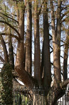 Ahuehuete o Ciprés Calvo - Tronco (Taxodium mucronatum)