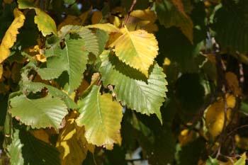 Olmo montano - Hojas (Ulmus glabra)