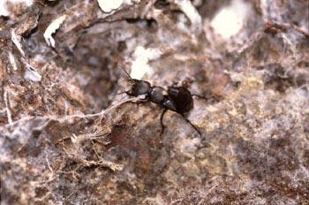 Escarabajo errante (Ocypus olens)