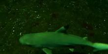 Tiburón de arrecife de puntas negras (Carcharhinus melanopterus. Quoy & Gaimard, 1824)