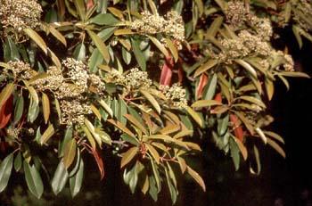 Acerolo chino (Potinia serrulata)