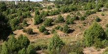 Enebro común - Bosque (Juniperus communis)