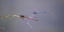 Caballito del diablo rojo (Pyrrhosoma nymphula)