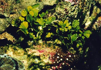 Alga verde (Cloroficea)