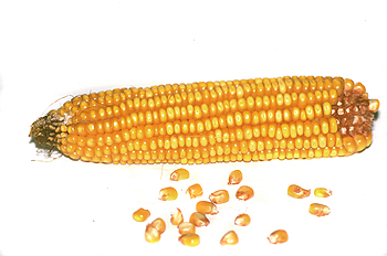Mazorca y granos de maíz