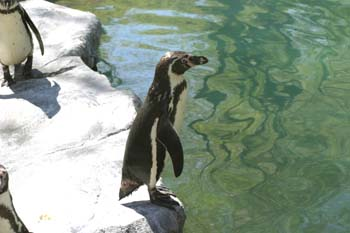 Pingüino de Magallanes (Spheniscus magellanicus)