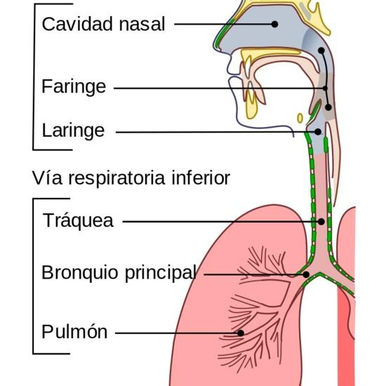 Esquema del aparato respiratorio