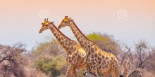 P3_NS The Giraffe