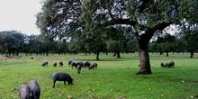 Cerdos en la dehesa, Extremadura